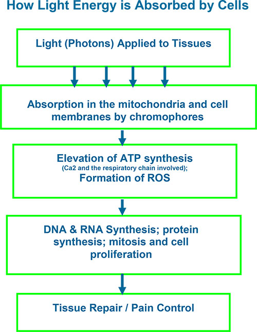 4.-How-Light-Energy-is-Absorbed-by-Cells